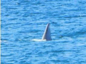 Péninsule de Valdès, Puerto Pyramides, LA baleine !