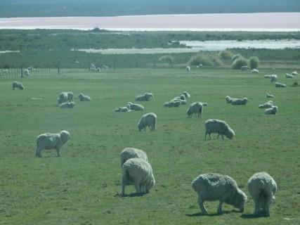 Péninsule de Valdès, moutons et saline en toile de fond