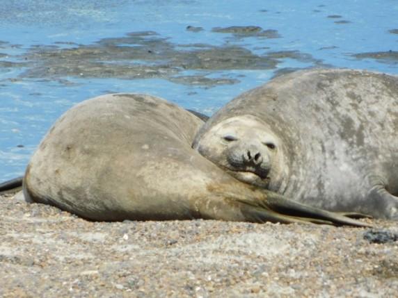 Péninsule de Valdès, Punta Delgada, colonie de lions de mer