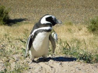 Péninsule de Valdès, Caleta Valdès, pingouin