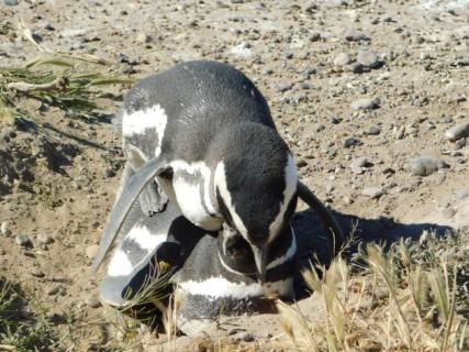 Péninsule de Valdès, Caleta Valdès, pingouins (oui, oui ! ils s'accouplent à quelques centimètres de nous, pas gênés par les spectateurs !)