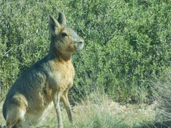 Péninsule de Valdès, lièvre de Patagonie