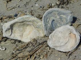Plage d'Isla Escondida, huitres fossiles géantes découvertes dans le sable...