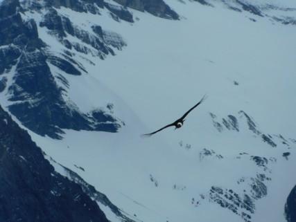 Perito Moreno, condor