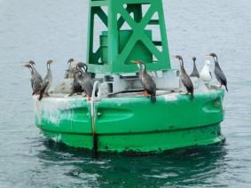 Castro - Balade en bateau, cormorans