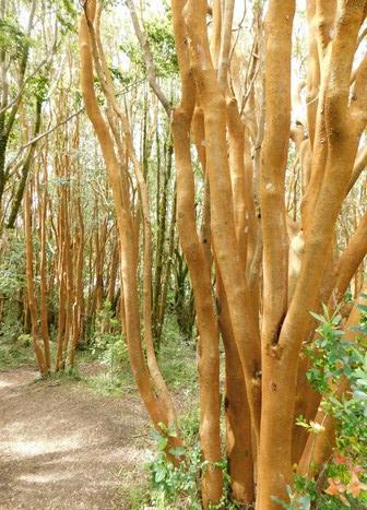 Parc National de Chiloé, arrayans