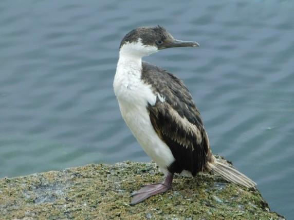 Puerto Montt - Sur le port d'Angelmo, cormoran