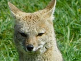 Excursion au Parc Torres del Paine, rencontre surprenante avec un renard pas sauvage du tout (dans le camping)
