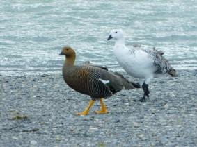 Excursion au Parc Torres del Paine, Lago Grey, couple de volatiles (on en voit beaucoup, ils vont toujours par deux, et le plus surprenant, c'est la différence totale d'apparence entre le mâle et la femelle)