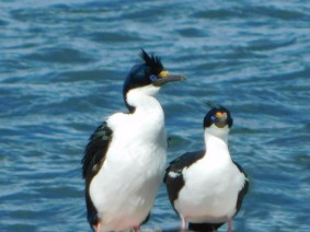 Punta Arenas, cormorans royaux