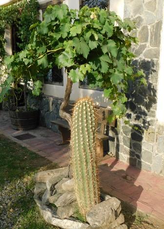 Cafayate, Bodega Nanni, quand la vigne côtoie le cactus !