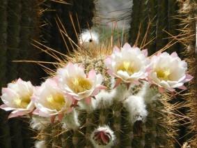 Sur la Ruta 40, non loin de Cachi, superbes fleurs de cactus