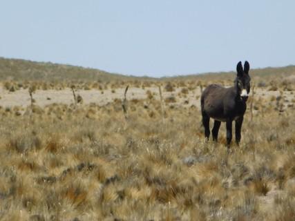 Sur la Ruta 33, âne sauvage