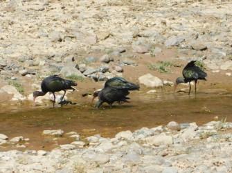 Au sud de Tupiza, excursion vers le Canon del Duende et le rio de Toroyoj, ibis falcinelle