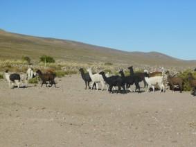 Salar d'Uyuni, troupeau de lamas