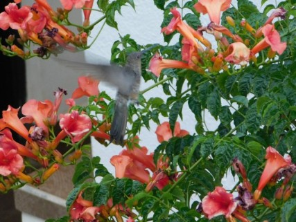 Tupiza, colibri dans le jardin de notre hôtel
