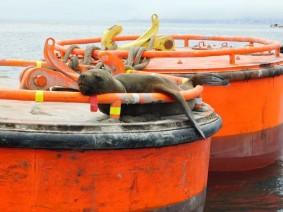 Valparaiso, le port, otarie sur une ancre flottante