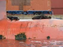 Valparaiso, le port, otaries sur la quille d'un cargo