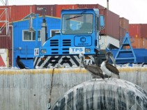 Valparaiso, le port, pélicans