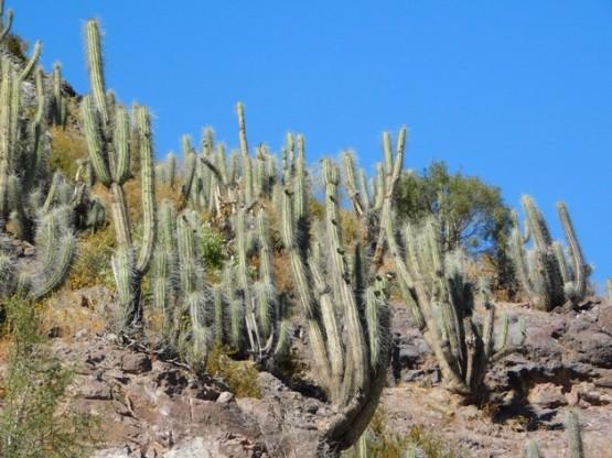Vallée de l'Elqui - Barrage, cactus par milliers