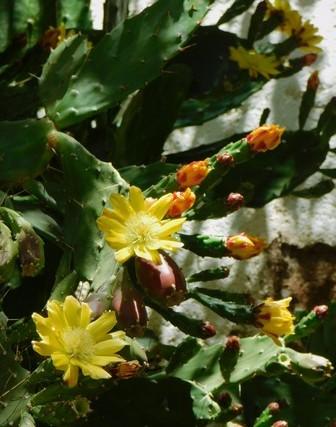 Vallée de l'Elqui, fleurs de cactus
