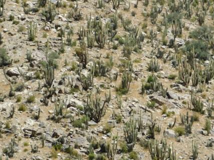 Vallée de l'Elqui, encore des cactus !