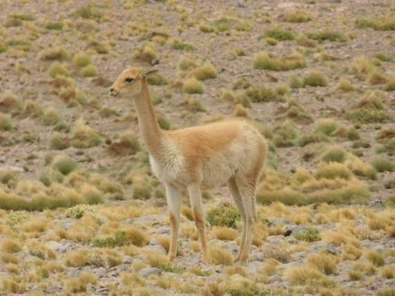 Sur la route du Salar de Talar, vigogne