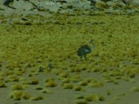 Sur la route du Salar de Talar, suri et ses petits (couleur modifiée par la vitre teintée du minibus)