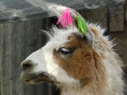 Toconao, Lama (les laines de couleur servent à les reconnaitre)