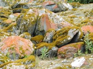 Franz Josef Glacier, pierres recouvertes de lichen rouge