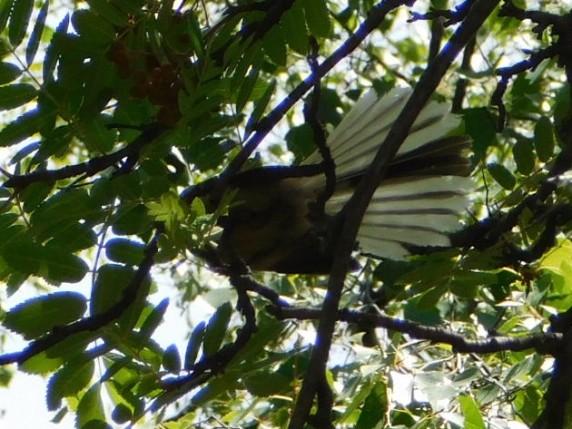 Wanaka, le fantail, un oiseau particulièrement difficile à capturer dans l'objectif !