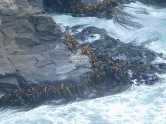 Péninsule d'Otago, algues
