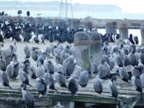 Oamaru, colonie de cormorans