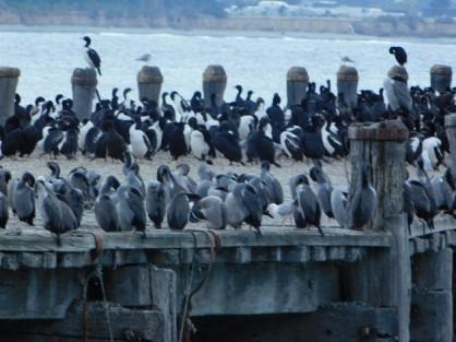 """Oamaru, colonie de cormorans - Ici, les """"royaux"""" noirs et blancs et les """"classiques"""" gris ne se mélangent pas !"""