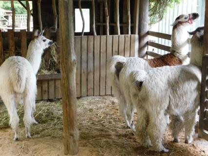 Parc animalier Willowbank Wildlife Reserve, il faut venir en Nouvelle-Zélande pour voir ces lamas que l'on n'a jamais pu observer en Amérique du Sud !