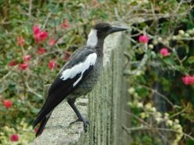 Balade à pied de Narrow Neck à North Head - Sorte de corbeau pas farouche !