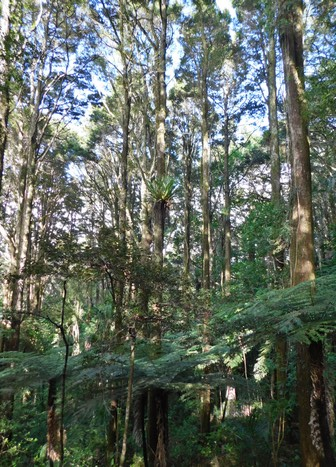 Whangarei, parc AH Red Kauri, balade dans la forêt primaire