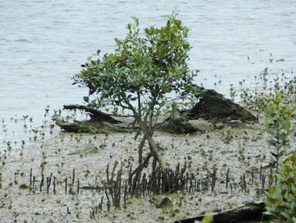 Whangarei, Town bassin, mangrove