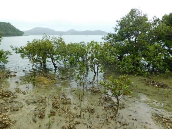 Whangarei Heads, mangrove