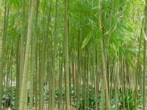 Kamakura - Jomyo-ji - Forêt de bambous
