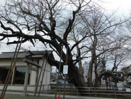 Tokyo - Urayasu - Temple shintoïste - Ginko Biloba géant...
