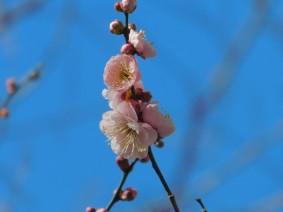 Tokyo - Quartier Shinjuku - Notre première fleur de prunier... On sent le printemps !