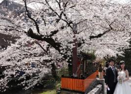 Kyoto - Cerisiers en fleurs à Shibashi-dori - Photo traditionnelle de mariage !