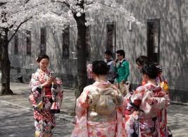 Kyoto - Cerisiers en fleurs à Shibashi-dori