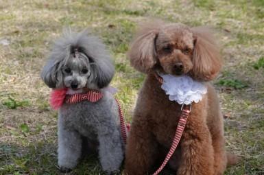 Hiroshima - Ces deux chiens portent des sakura autour du cou !