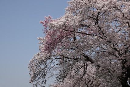Hiroshima - Non loin du Dôme de la Bombe A, sakura