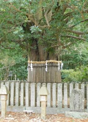 Shingu - Sanctuaire Kumano Hayatama Taisha - Arbre sacré