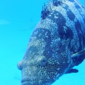 Aquarium d'Osaka, mérou