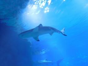 Aquarium d'Osaka, requin
