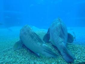 Aquarium d'Osaka, mérous